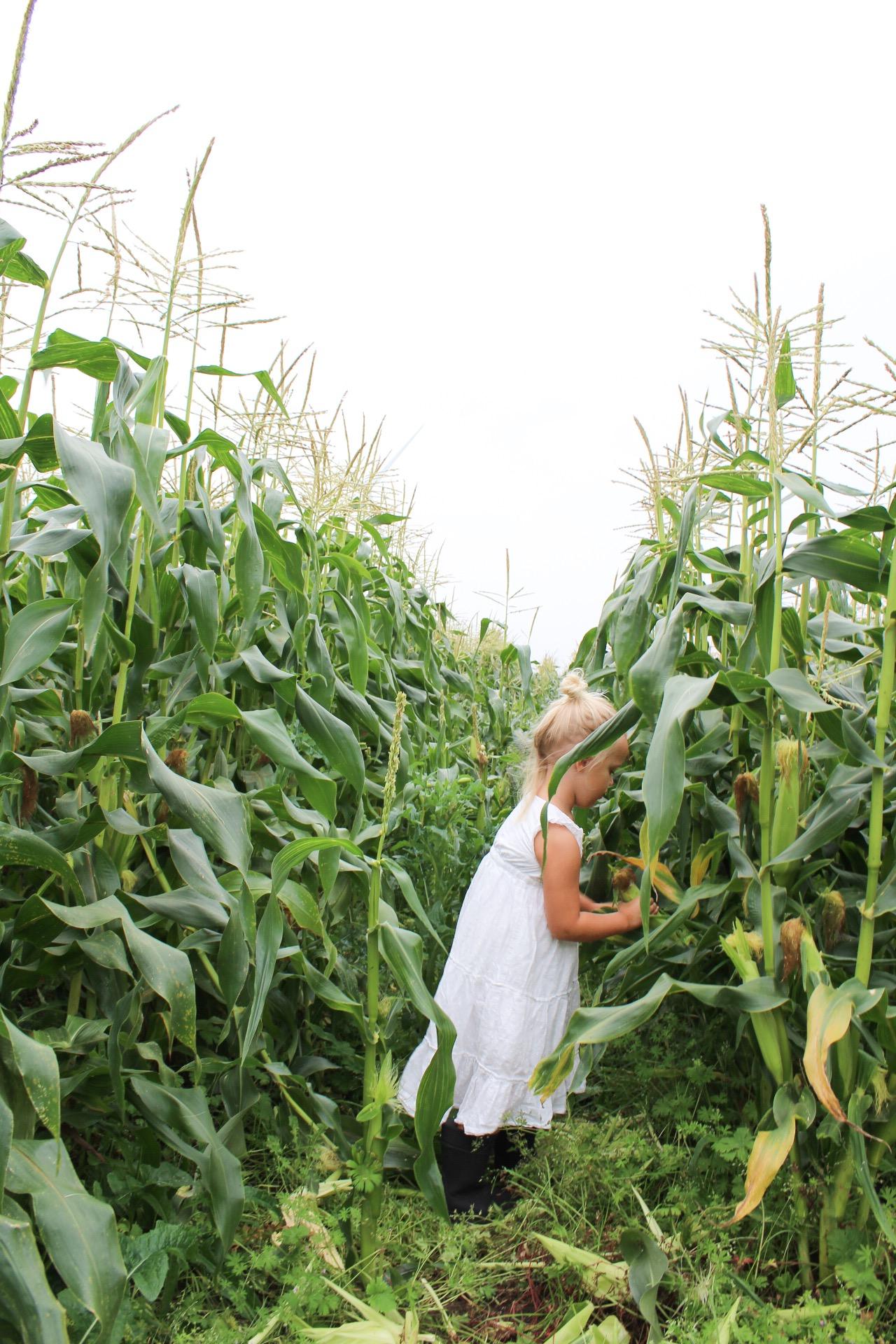 På majsfältet
